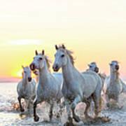 Camargue White Horses Running In Water Art Print