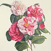 Camelias Art Print