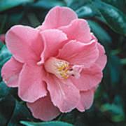 Camellia 1 Art Print