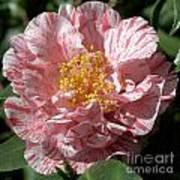 Camellia 2967 Art Print