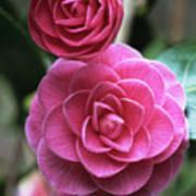 Camellia Flowers Art Print