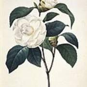 Camellia Japonica, 19th Century Art Print by Science Photo Library