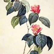 Camellia Japonica Art Print by Pierre Joseph Redoute