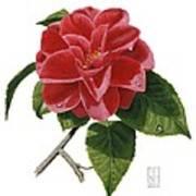 Camellia Art Print by Richard Harpum
