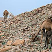 Camels At The Israel Desert -1 Art Print