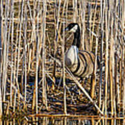 Camouflaged Canada Goose Art Print
