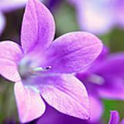 Campanula Portenschlagiana Blue Bell Flowers Closeup Art Print