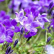 Campanula Portenschlagiana Blue Bell Flowers Art Print