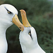 Campbell Albatrosses Courting Campbell Art Print