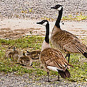 Canada Geese And Goslings Art Print