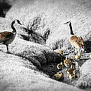 Canada Geese Family Art Print by Elena Elisseeva