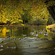 Canada Geese In Autumn Swimming On The Thornapple River Art Print