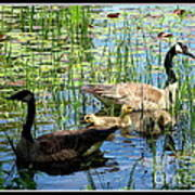Canada Geese On Lily Pond At Reinstein Woods Art Print