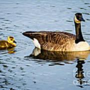 Canada Goose And Gosling Art Print