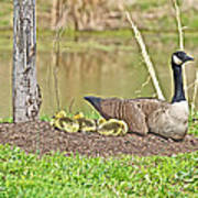 Canada Goose And Goslings Art Print