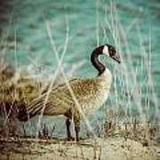 Canada Goose Art Print by Gerald Murray Photography