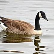 Canada Goose Reflecting In Calm Waters Art Print
