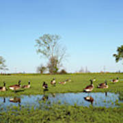 Canadian Geese Community In West Haven Art Print