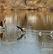 Canadian Geese Takeoff Art Print