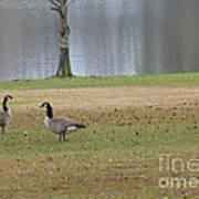 Canadian Geese Tourists Art Print