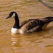 Canadian Goose In On Golden Pond Art Print
