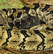 Canebrake Rattlesnake Art Print