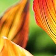 Canna Lily Named Durban Art Print