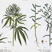 Cannabis And Flax Art Print