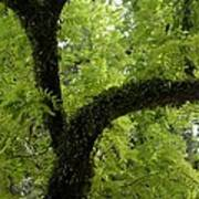 Canopy Of Cedar Elm Art Print