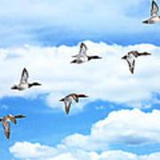 Canvasback Ducks In Flight Art Print
