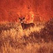 Canyonland Mule Deer Art Print by T C Brown