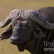 Cape Buffalo   #0607 Art Print