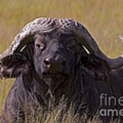 Cape Buffalo   #0609 Art Print