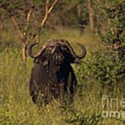 Cape Buffalo   #6851 Art Print