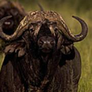 Cape Buffalo   #6883 Art Print