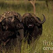 Cape Buffalo   #6884 Art Print