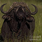 Cape Buffalo   #6885 Art Print