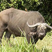 Cape Buffalo  Uganda Art Print