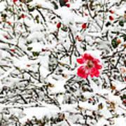 Cape Cod Beach Rose In Fresh Snow Art Print