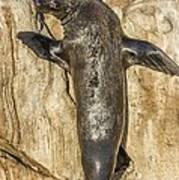 Cape Fur Seal Basking In The Sun Art Print