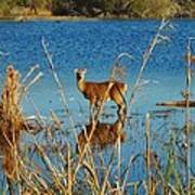 Cape Hatteras Deer In Pond 3 11/22 Art Print