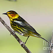 Cape May Warbler Art Print