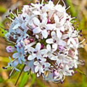 Capitate Valerian Near Savage River Cabin In Denali Np-ak Art Print