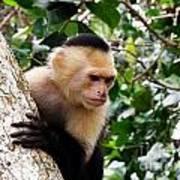Capuchin Monkey Art Print
