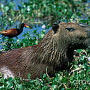 Capybara And Jacana Print by Francois Gohier