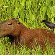 Capybara And Smooth Billed Ani Art Print