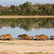 Capybara By A Lake Art Print