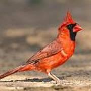 Cardinal - Male 1 Art Print