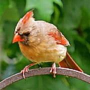 Cardinal 103 Art Print