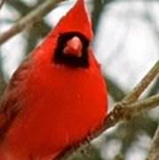 Cardinal 104 Art Print